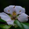 アーモンドの花が咲きました!