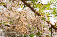 我家の桜、蝦夷山桜