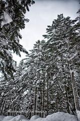 エゾ松の森の中で