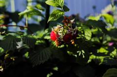 十河さんちの庭から、木苺