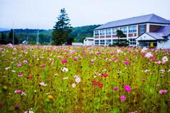 旧本幌別小中学校の校庭に咲くコスモス
