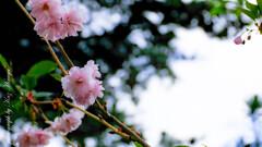 庭の八重が咲きましたW