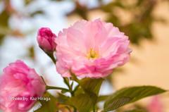 我家の桜、八重桜
