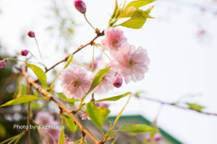 我家の桜、枝垂桜
