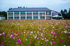 旧本幌別小中学校の校庭に咲くコスモス2