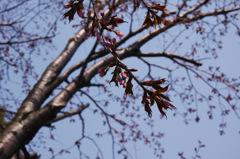 蝦夷山桜、旭川開花
