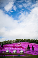 東藻琴、芝桜
