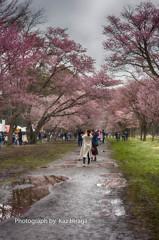 新ひだか町、静内二十間道路桜並木 3