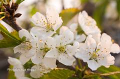 我家の桜、サクランボ(栃錦)の花