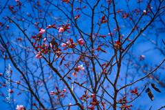 散歩日和 蝦夷山桜