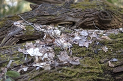 枯木に落葉