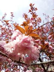 2019/04/21_道の駅和紙の里ひがしちちぶの八重桜