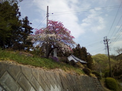 2019/04/21_外秩父山中の桜か梅か?