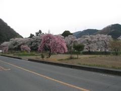 2019/04/07_外秩父の桜