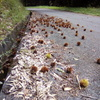 2018/09/24_林道にたくさん落ちた栗