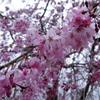 2017/04/01_上平公園の花