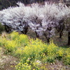 2019/03/09_外秩父山中の花々