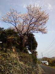 2019/04/21_外秩父山中の桜