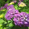 2018/06/16_天神山の紫陽花