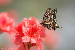 蝶の季節-1-
