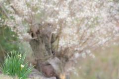 梅林公園の春-水仙-