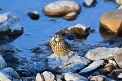 野鳥の季節-タヒバリ2-