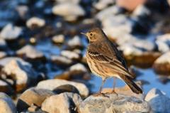 野鳥の季節-タヒバリ1-
