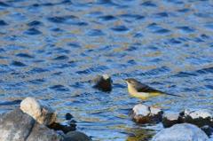 野鳥の季節-キセキレイ-