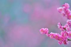 梅林公園の春-紅梅-
