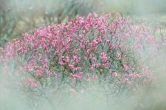 梅林公園の春-ラスト-