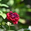 薔薇便り2020y-147
