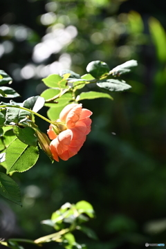 薔薇便り2020y-145