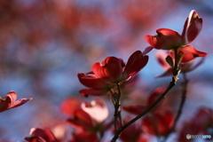 花水木便り2021y-10