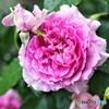 薔薇便り2021y-44