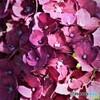紫陽花便り2020y-34