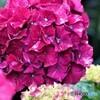 紫陽花便り2021y-23