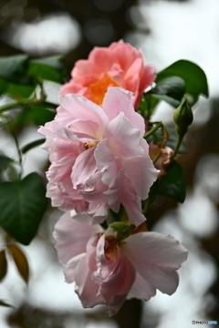 薔薇便り2020y-177