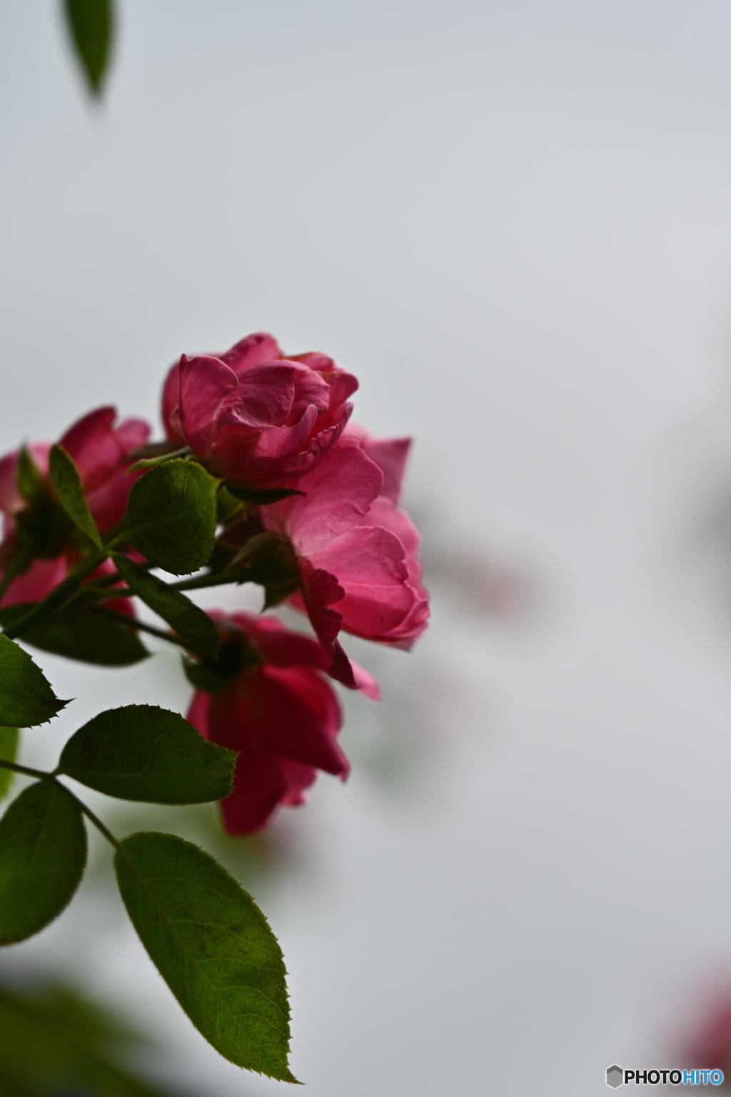 薔薇便り2020y-161