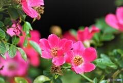 薔薇便り2021y-118