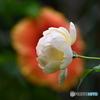 薔薇便り2020y-171