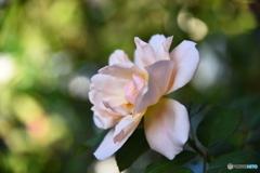 薔薇便り2020y-185