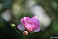 薔薇便り2021y-142