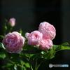 薔薇便り2020y-104