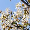 ジュンベリーの花