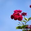 薔薇便り2020y-103