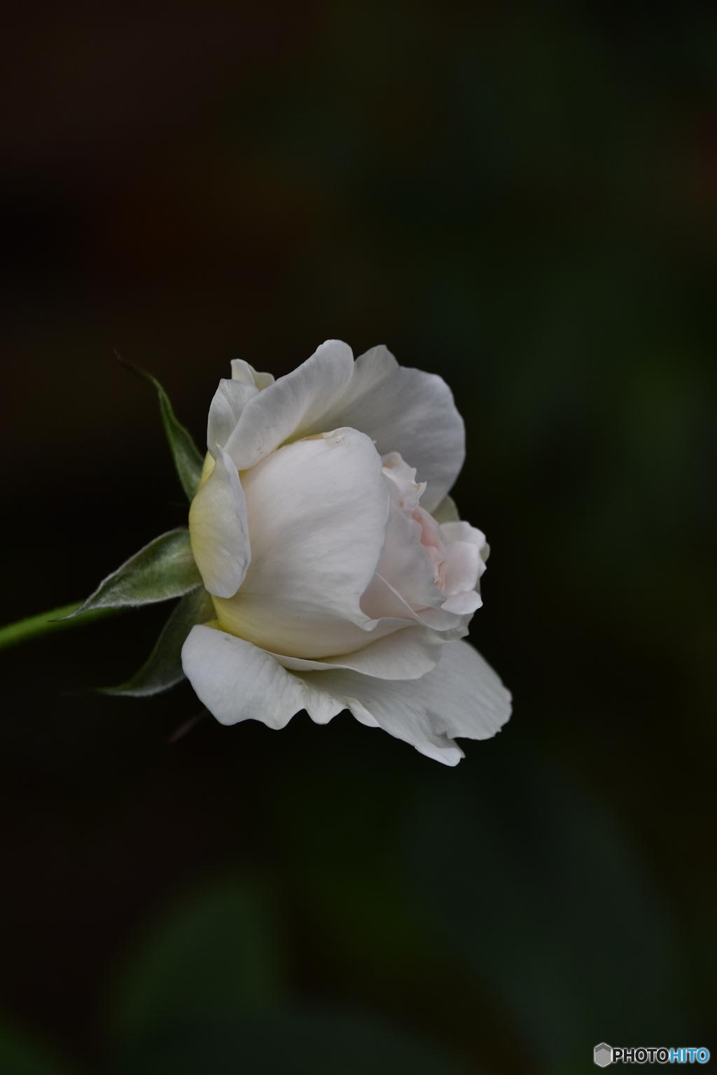 薔薇便り2020y-191