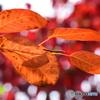 我が家の庭の紅葉-4