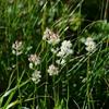 夏の鳥海山に咲く山野草-9