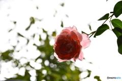 薔薇便り2020y-184