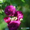 薔薇便り2020y-68
